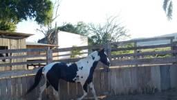 Vendo cavalo Manga Larga Marcha