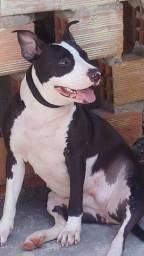 Esta aprucura de um namorado pitbull american staffordshere terrier