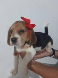 Linda Beagle Fêmea Mini Filhote *Vacinada * Pedigree