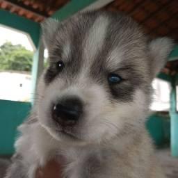 Husky siberiano macho filhote