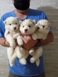 Filhotes de Husky lindos