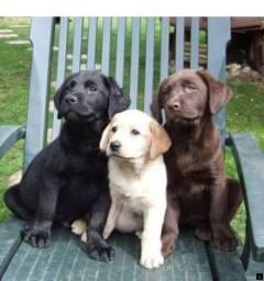 Labrador filhotinhos a pronta entrega com pedigree