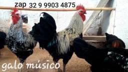 Título do anúncio: = Ovos galados = de galo músico via correios. Galos e galinhas cantoras de ótima qualidade