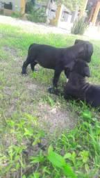 Filhotes de pitbull puro
