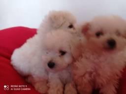 Título do anúncio: Lindos filhotes Poodle Toy