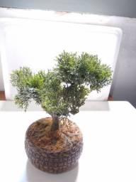 Árvore Bonsai Artificial Decorativo no Vaso