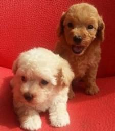 Poodle machos e fêmeas disponíveis !! Com Garantias<br><br><br>