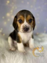Título do anúncio: Maravilhosos filhotes de Beagle