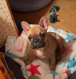 Maravilhosos Bulldog Francês