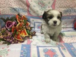 Lhasa o cão para apartamento