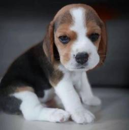 Título do anúncio: Belíssimos filhotes de Beagle