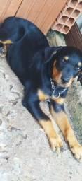 Fêmea de Rottweiler  *