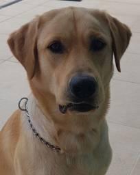Título do anúncio: Labrador Retriever procura namorada.