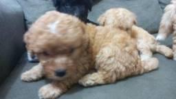 Vendo Filhote de Poodle nº 1 com 50 dias de nascido