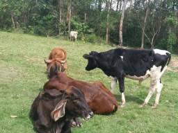 Vendo lote de gado 9 animais 12 mil