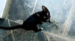 Doando gato preto com branco filhote