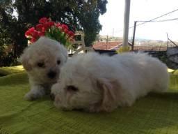Filhotes de poodle 2 machos
