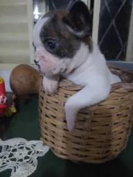 Bulldog Francês mini em grande promoção vacinados e com pedigree opcional