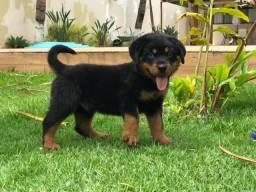 Filhotes de Rottweiler com pedigree, ac troca, 50 % desconto sem pedigree