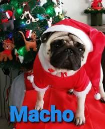 Pug macho 1.300