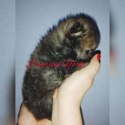 Lulu da Pomerânia/spitz alemão baby face