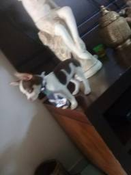 Filhote de pinscher com chihuahua