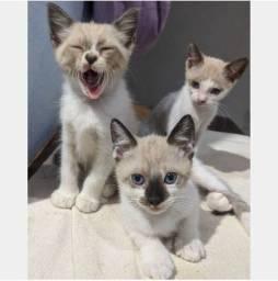 Gato Siamês, Filhotes, 1 Mês e Meio, Macho e Fêmea - (Aceito Cartão)