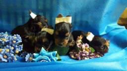 Yorkshire brincalhão mini