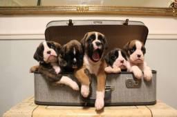 Filhotinhos de Boxer, machinhos e femeas com garantias de vida e saude