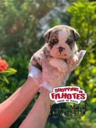 Título do anúncio: Bulldog Inglês lindos filhotinhos padrão CBKC com vacina