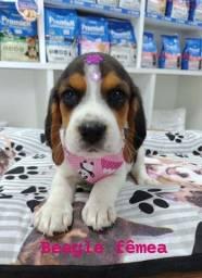 Beagle femea, linda e apaixonante!