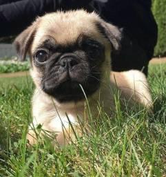 Pug macho garantia tamanho e pureza