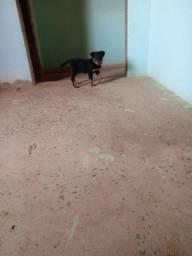 Título do anúncio: Cachorro rottweiler