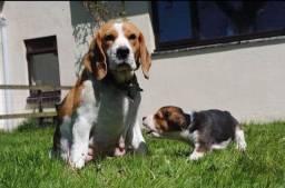 Beagle  lindos filhotes disponíveis femea e macho