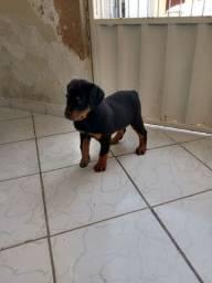 Fêmea de rottweiler com 56 dias já vacinado e vermífugado