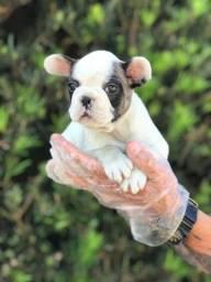 Bulldog Francês várias cores