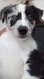 Filhote Border collie blue merle macho com pedigree