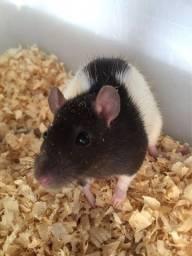 Rato twister ou mercol