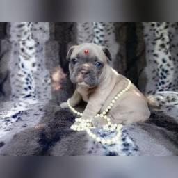 Bulldog francês exotico