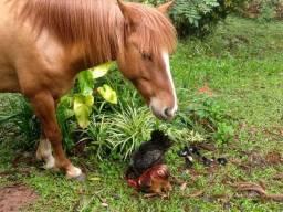 Cavalo Crioulo - De Laço - Com Registro - Aceito Trocas