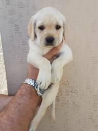 Título do anúncio: Labrador disponível pronta entrega