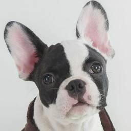 Bulldog francês opção de entrega ou pode retirar no Pet