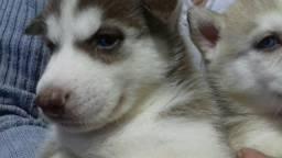 Husky Siberiano - Em 10X Sem Juros No Cartão. Pedigree Gratuito.