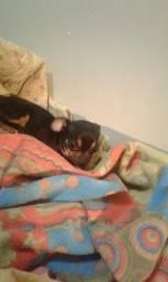 Chihuahua femea