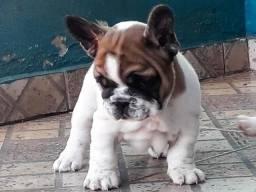 Bulldog Francês Macho C/ Pedigree CBKC e Garantia de Saúde