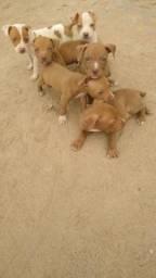 Filhote de Pitbull Red nose autêntico em Macaé!!!!