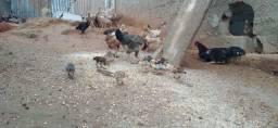 Pintinhos e galinhas caipiras novas