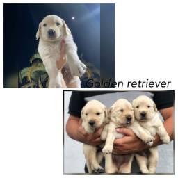 Golden retriever com pedigree e microchip ate 18x