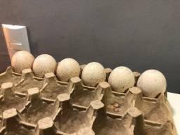 Ovos e Filhotes de peru