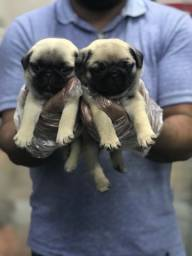 Filhotes de Pug abricó e pretos - pedigree e contrato para segurança de todos